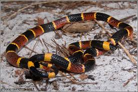 Found A Snake In My Backyard Is This Snake Venomous What To Look For When Dealing With Snakes