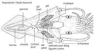 image gallery squid anatomy