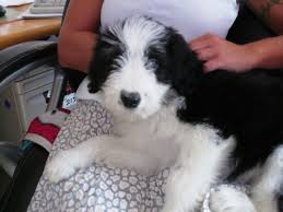 bearded collie adoption beautiful bearded collie puppies for sale stirling