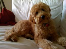 goldendoodle puppy virginia goldendoodle aussiedoodles bernedoodles puppies va ny ky