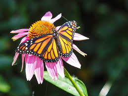 Echinacea Flower Capt Mondo U0027s Blog Blog Archive Monarch Butterfly On Echinacea