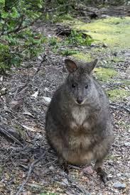 36 best tasmanian wallabies images on pinterest kangaroos