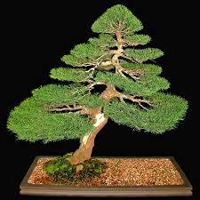 bonsai australian native plants australian seed casuarina equisetifolia