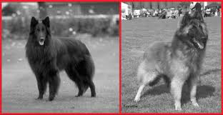 belgian sheepdog groenendael breeder greek belgian shepherd dog groenendael breeders ράτσες