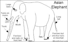 asian elephant printout enchantedlearning