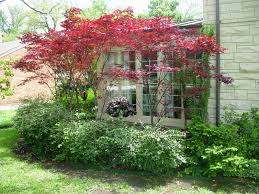 japanese maple lace leaf fall woodland shade garden