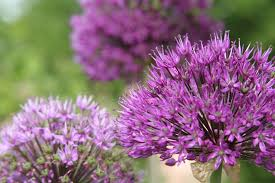 allium flowers growing alliums information on allium care