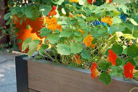 nasturtium flower how to grow nasturtiums from seed gardener s supply