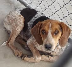 bluetick coonhound mix puppies beagle blue tick hound mix unleash the hounds pinterest