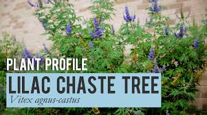 lilac chaste tree plant profile youtube