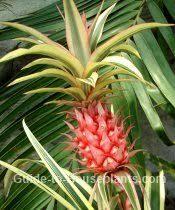 growing pineapple plants indoors ananas comosus