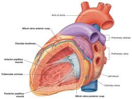 Anatomy Of Heart Valve Anatomy Of Heart