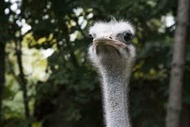Ostrich Meme - create meme ostrich pictures meme arsenal com