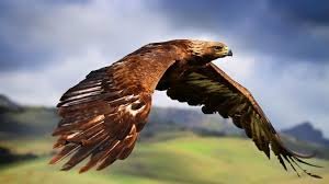 eagle hd wallpapers this wallpaper