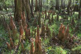 South Carolina national parks images How we nearly lost the south 39 s largest old growth floodplain jpg