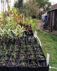 australian native plant nurseries the planthunter u2013 carmen holloway is the garlic queen of king island