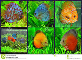 Types Of Aquarium Fish Discus Pair Tropical Aquarium Fish Stock Photo Image 18313010