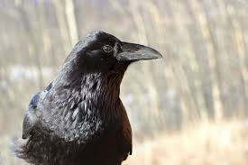 common raven wikipedia