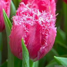 fringed tulip bulbs mascotte american meadows