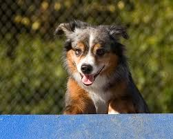 australian shepherd in california dogbreedz photo keywords miniature australian shepherd