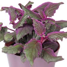 6 sensational houseplants that add color to your home costa farms