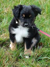 australian shepherd miniature 24 best maybe images on pinterest miniature australian