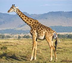 kenyan giraffe gives birth and the newborn finds getting to its