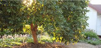 For A Tree How To Grow An Avocado Tree From Seed California Avocado