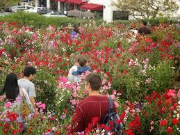 carlsbad flower garden the flower fields of carlsbad cafornia