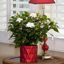 Fragrant Container Plants - large fragrant gardenia in elegance container flowering plants
