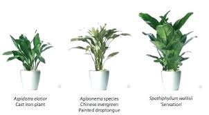 indoor plants that need no light idea the best indoor plants for low light or low light indoor plants
