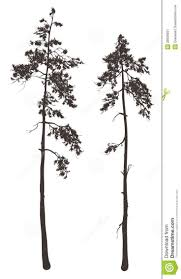 pine tree thin pencil and in color pine tree thin