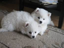 american eskimo dog or puppy for sale in mn 21 best american eskimo dogs images on pinterest american