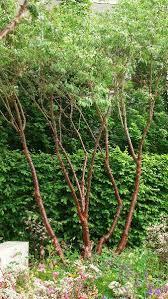 prunus serrula multistem ornamental trees paramount plants and