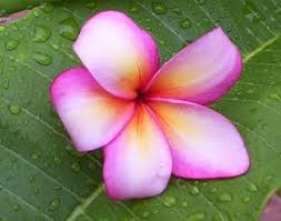 Plumerias Pali Plumies Plumeria Care Growing Plumerias In Phoenix Arizona