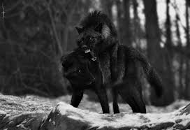 Angry Wolf Meme - black and white wolf nature forest wolves wild woods black wolf