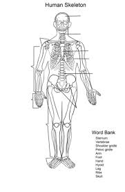 human skeleton worksheet coloring page free printable coloring pages