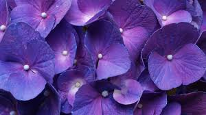 purple hydrangea 846759 walldevil