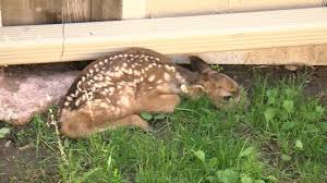 fawns rescued from backyard in colorado springs koaa com