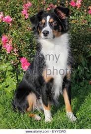 7 month old australian shepherd puppy miniature australian shepherds stock photos u0026 miniature australian