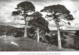 plants native to scotland plant life in the scottish highlands the native forests of the