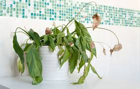 How To Save A Dying Plant 4 Reasons Your Houseplants Are Dying And How To Fix Them