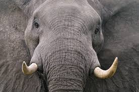 michel bureau elephant michel bureau of africa ℒ νℯ