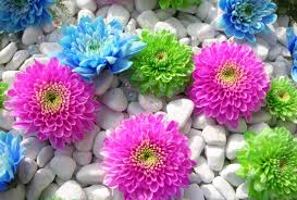 flowers dyed mums blue flowers stones pink colorful green