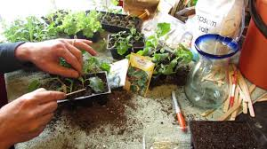 how and when to seed start kale u0026 collard greens indoors cool