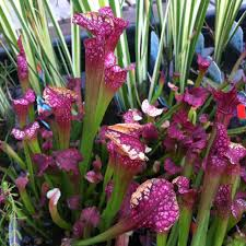 lafayette florist 54 best carnivorous plants images on carnivorous