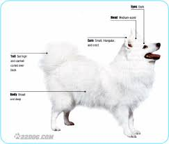 american eskimo dog new zealand appearance japanese spitz club ph