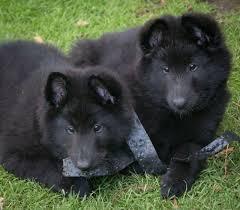 belgian shepherd wanted belgian shepherd puppies groenendael chorley lancashire