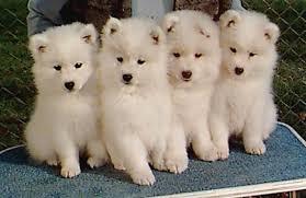 american eskimo dog training everything about your american eskimo dog luv my dogs