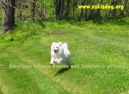 american eskimo dog black american eskimo dog rescue u0026 sanctuary useful information